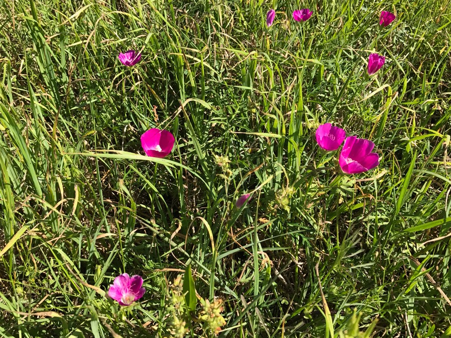 More Texas wildflowers - wine cups on Freeman Ranch & Stables